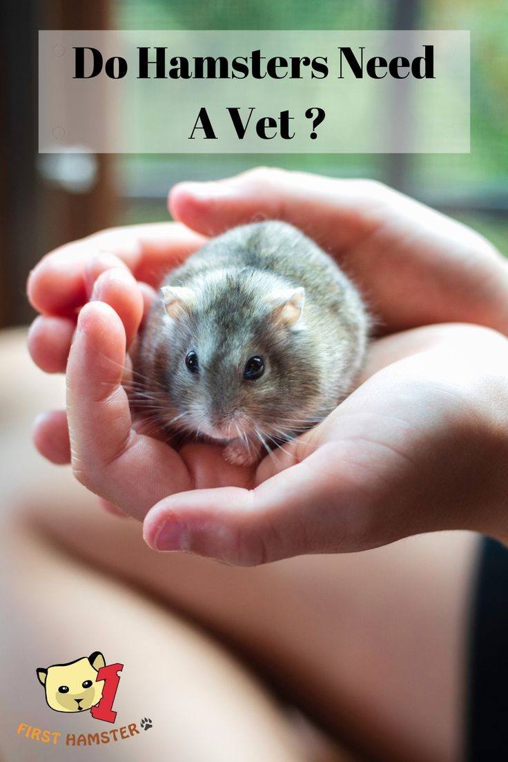 Do Hamsters Need A Vet Keeping Your Hamster Healthy