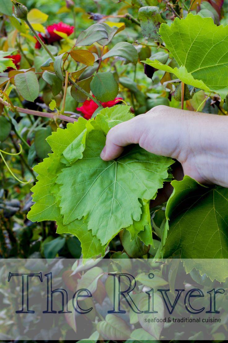 • Μαζεύουμε λίγα #αμπελόφυλλα αμέσως από το κήπο μας για να ετοιμάσουμε #ντολμαδάκια :-)  • Picking up fresh #vine #leaves from our garden to make some stuffed-vine leaves :-)  | Copyright © 2015 The River Restaurant | #The_River_Restaurant #Ierapetra #Ιεράπετρα #Κρήτη #Crete #Creta #Kreta #CretanCuisine #CretanDiet #CretanGastronomy #CretanFood #CretanCulinary #Ntolmadakia #Dolmadakia
