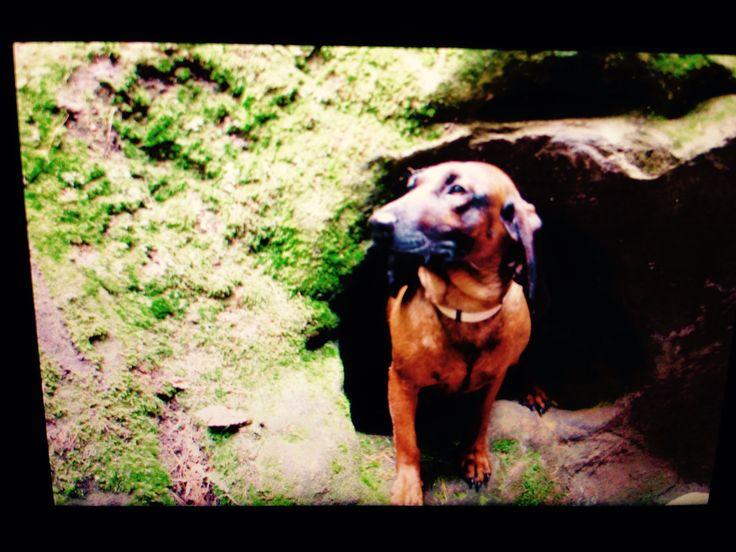 Bayerischer Gebirgsschweißhund - Hündin