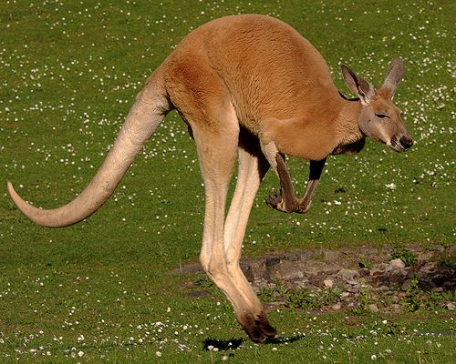 Red kangaroo | Red Kangaroo, Macropus rufus