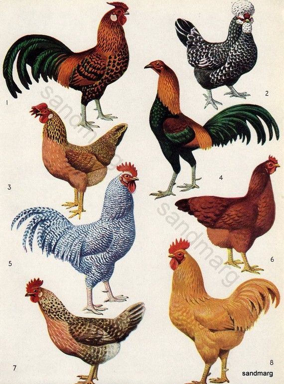 Breeds of Poultry Chart  by C F Tunnicliffe Original by Sandmarg, 1958