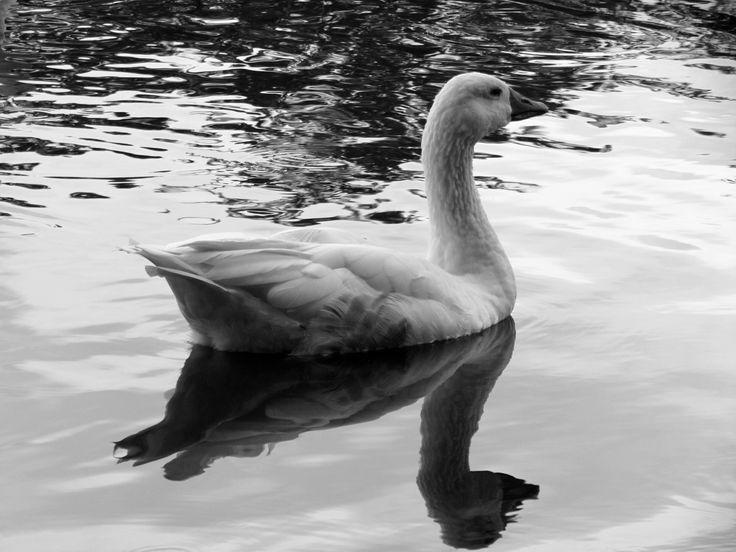 nature water goose