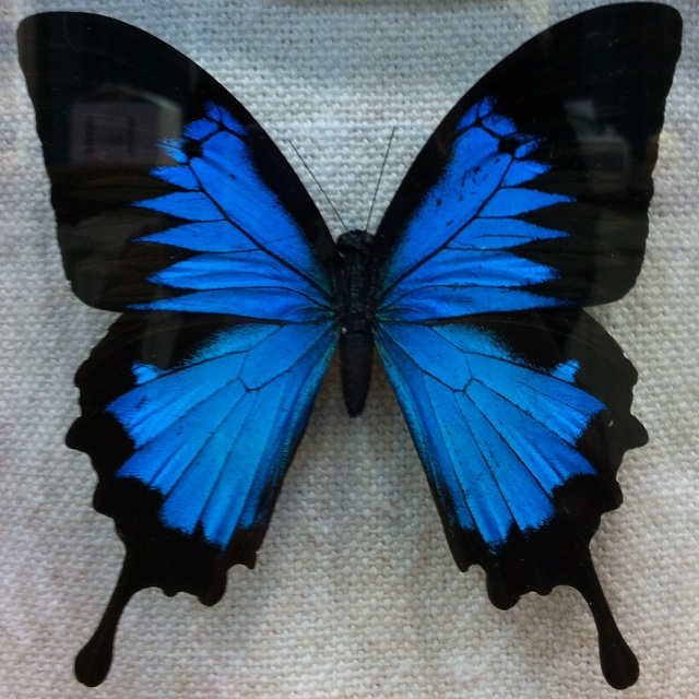 I met a woman at the 2012 Chicago Flower Show from Peru. She has a butterfly farm.  The life span of the little flutters are only 14-21 days.  When they expire, they embalm the South American butterflies (30 day process). I know, I know : )  You know I raise Monarchs so I was just mesmerized by the display!