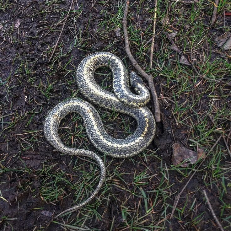 Hive mind. What kind of snake?