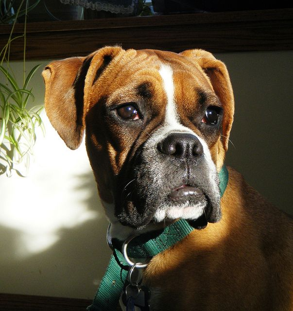 Awww! Love me some Boxers!