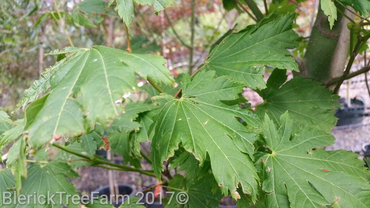 Acer japonicum vitifolium – Full Moon Maple – Purchase Bare Rooted Trees Online