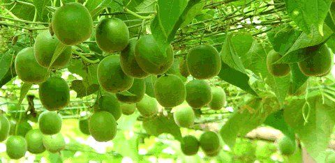 Luo Han Guo – natürlicher Zuckerersatz ohne Kalorien: Der natürliche Zuckersersatz aus der Luo Han Guo Frucht macht es endlich möglich, Süßes zu genießen – gesund und ohne Kalorien ...