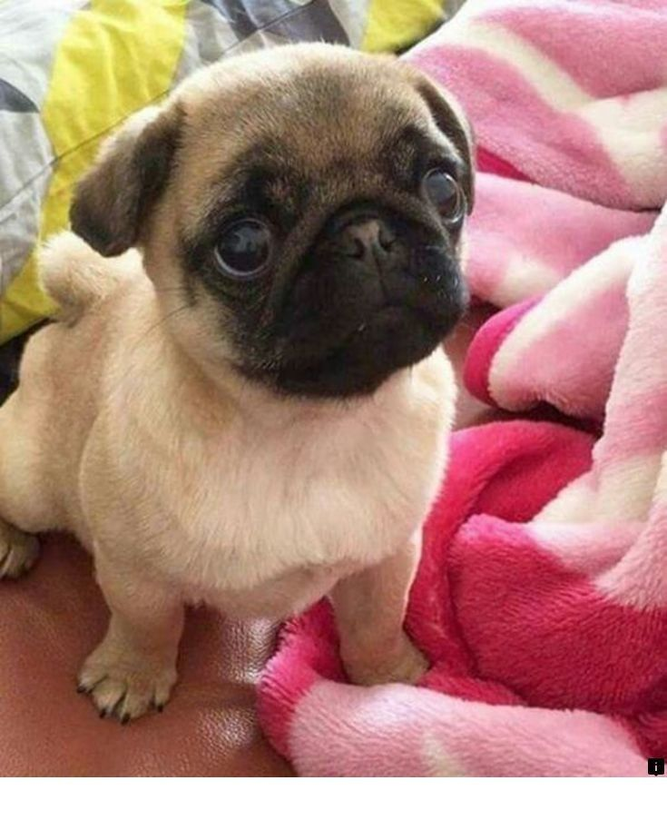 Read More About Puggle Puppies Follow