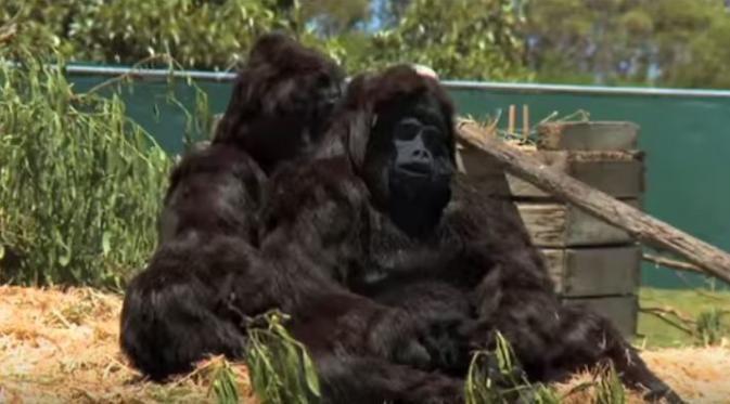 Sebuah kebun binatang di Australia ngerjain para pengunjungnya dengan menghadirkan 2 gorila palsu yang bisa mengendarai mobil! :D