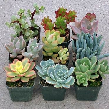 Soft Succulent Sample Collection: 9 of our best tender cultivars. Each is planted in its own 2x2 container. These plants are drought tolerant but will not tolerate frost. What You Receive One order =