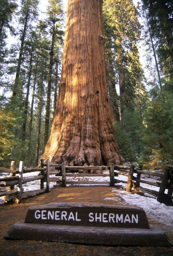 n terms of sheer volume, the giant sequoia (Sequoiadendron giganteum) known as General Sherman is a monster of a tree -- at 52,508 cubic feet, it's the world's largest tree, and perhaps the world's largest living thing. General Sherman is located in California's Sequoia National Park.