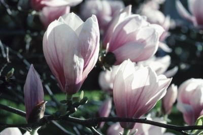 Companion Plants for Magnolia TreesDeciduous Trees, Backyards 2013, Gardens Folly, Evergreen Magnolias, Front Yards, Flower Gardens, Evergreen Trees, Plants Flower, Magnolias Trees Care