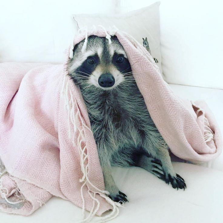 """Résultat de recherche d'images pour """"raccoon tacos"""""""