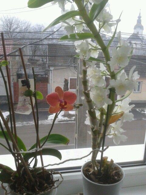Orhideak az ablakomban :3