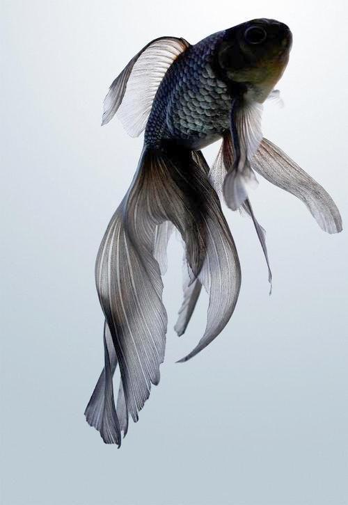Black | 黒 | Kuro | Nero | Noir | Preto | Ebony | Sable | Onyx | Charcoal | Obsidian | Jet | Raven | Color | Texture | Pattern | Styling | Goldfish | Swimming | Fins