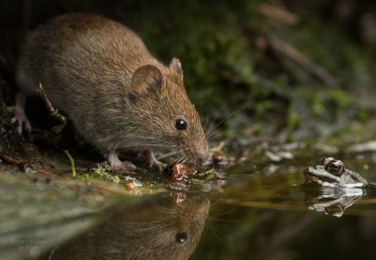 Oog in oog. - Zoogdieren - Rosse Woelmuis,Toen ik in de boshut zat, verscheen er regelmatig een rosse woelmuis om een slokje te drinken.    Het was moeilijk om ze erop te krijgen, want ze zijn ontzettend snel.