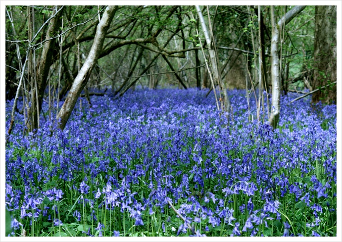 Bluebells, New Forest, England