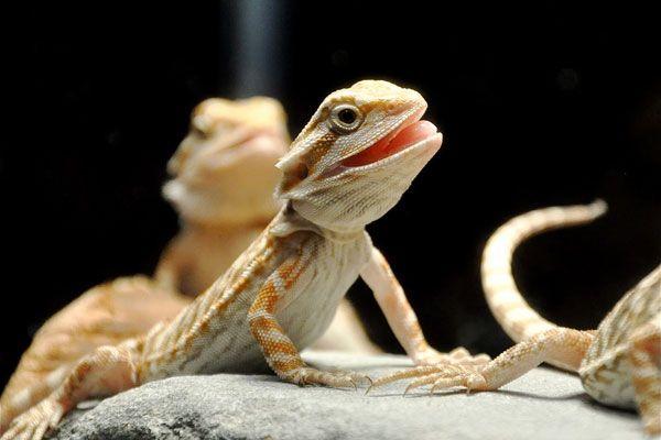 Bearded Dragon Diet, Food, & Nutrition
