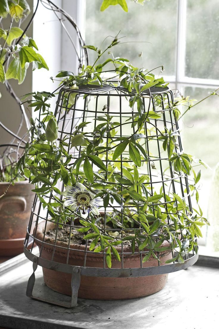 Passionflower Unique House Plants Article Indoor Vines Indoor Flowers Indoor Plants