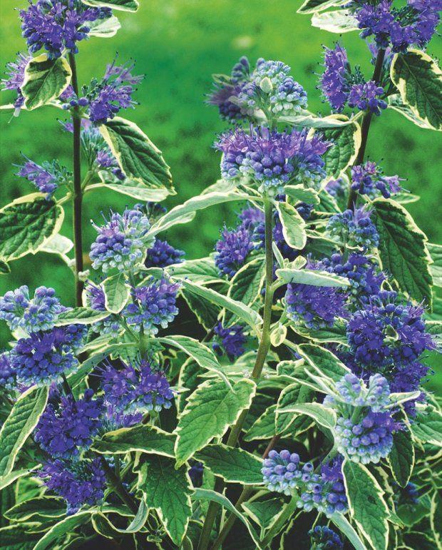 BARBULA KLANDOŃSKA 'Worchester Gold' tworzy kuliste kwiatostany w intensywnym odcieniu fioletu, a jej młode liście są złotawe.BARBULA KLANDOŃSKA 'WHITE SURPRISE'