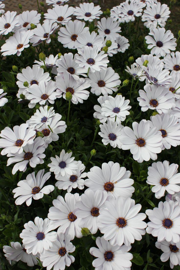 Tähtisilmä 'Flower Power White'