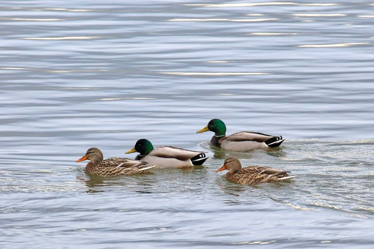 Two pairs of Mallard Ducks swimming in the Fraser River. Click image to enlarge.