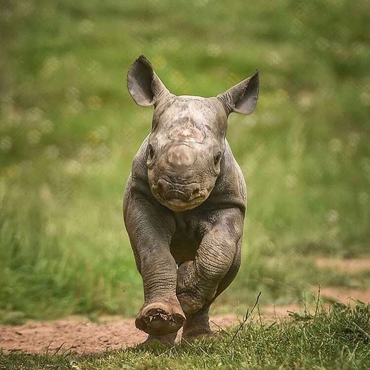 Check out this black baby #rhino on the loose 🙌🏽 Share ...