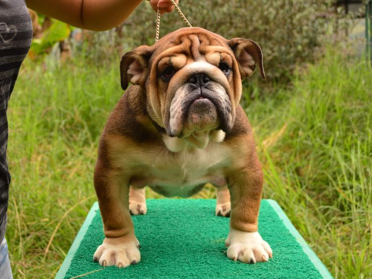 bulldog ingles tayrona macho con pedigri disponible para montas