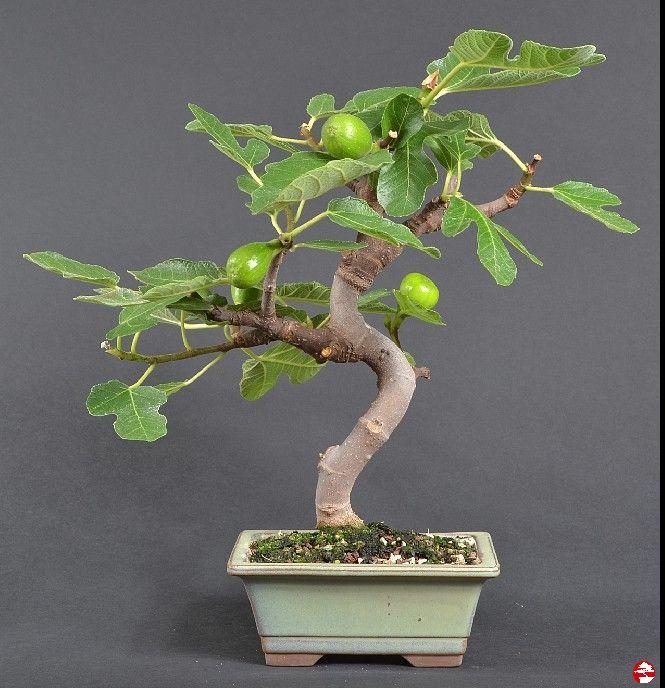 die besten 25 bonsai ficus ideen auf pinterest bonsai bonsai garten und japanischer bonsaibaum. Black Bedroom Furniture Sets. Home Design Ideas