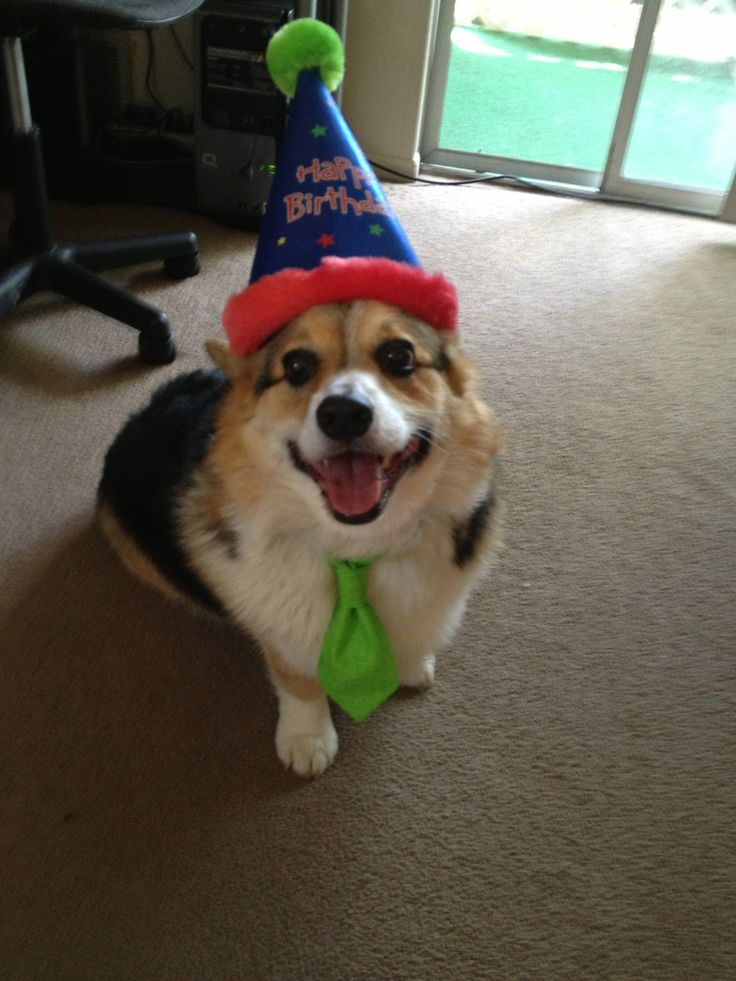 Birthday party murphy the pembroke welsh