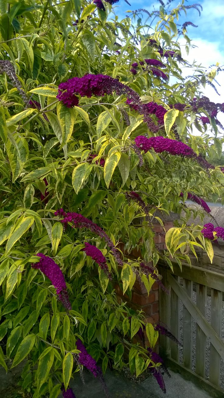 Buddleja Davidii (butterfly bush) - very hardy, 6-10ft tall, 6-10ft wide, full sun, low water, any soil