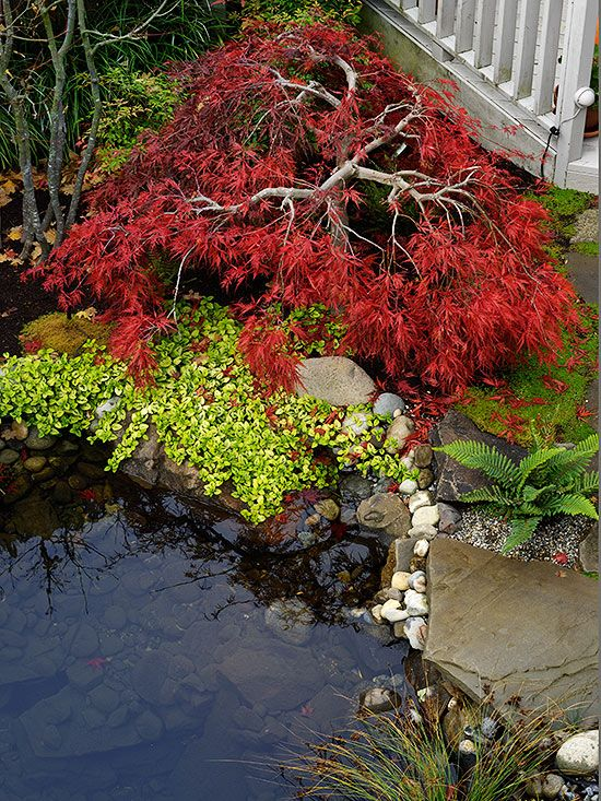All About Japanese Maples Lovely lacy leaves and a graceful aspect of the Japanese maples make these small trees an asset in any landscape.