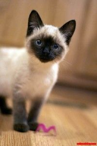 siamese cats smiling