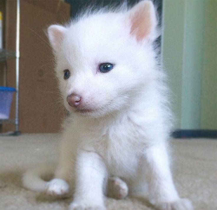 renard-blanc-mignon-domestique-4