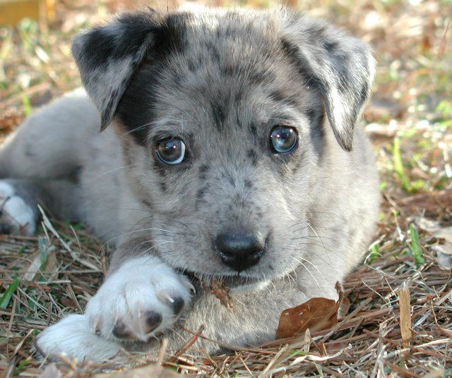 Catahoula Australian Shepherd Mix Puppies For Sale Australian