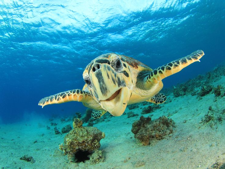 The turtle is a fantastic design, unequalled among other vertebrates for its adaptable protective shell and its endurance through time. Here is a breakthrough paper that tells us just how the reptiles managed to produce such an endearing and successful creature. #turtles #seaturtles