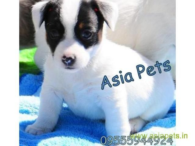 Jack Russell Terrier Puppy For Sale In Bangalore Best Price Jack