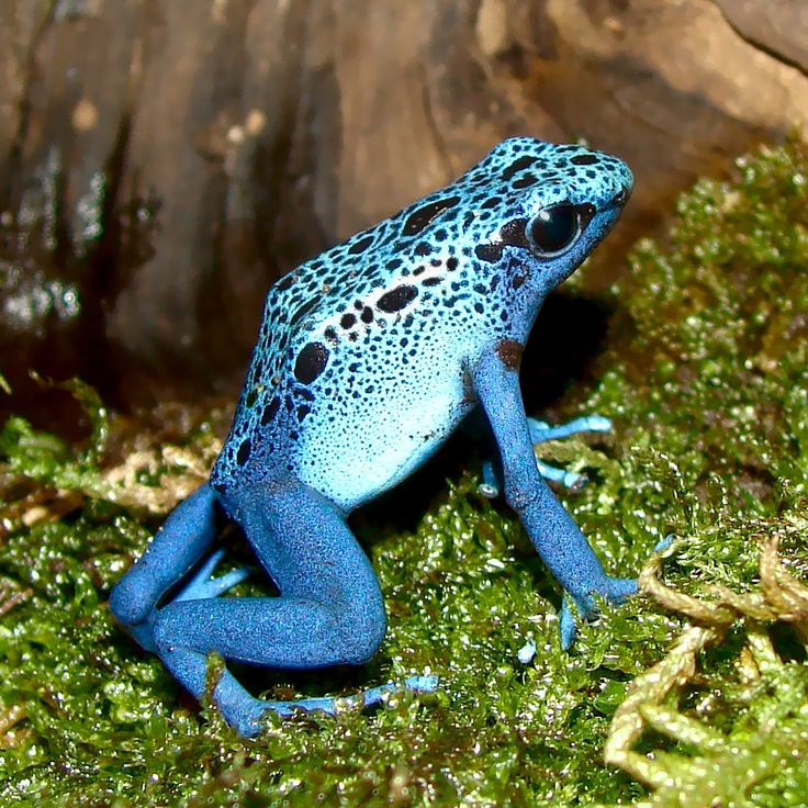 Dendrobates-azureus - Blue frog, highly poisonous - http://www.cronicasweb.com/los-10-animales-mas-peligrosos-del-mundo/?utm_source=feedburner_medium=email_campaign=Feed%3A+cronica2web+%28CronicaWeb+2%29_content=Yahoo%21+Mail