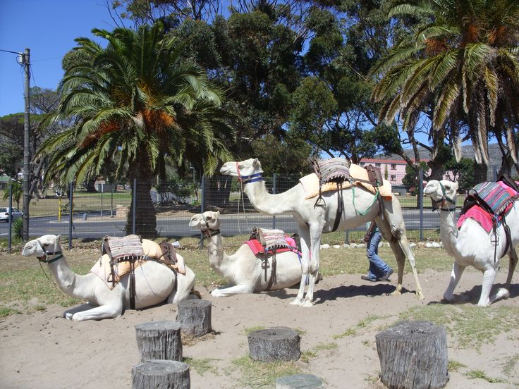 Camel's at Imhoff Farm, Kommetjie, South Africa