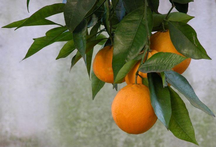 Kwiaty w domu i ogrodzie: Pomarańczę też można uprawiać w doniczce
