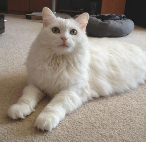 Persian Cat Rescue Pittsburgh Pa
