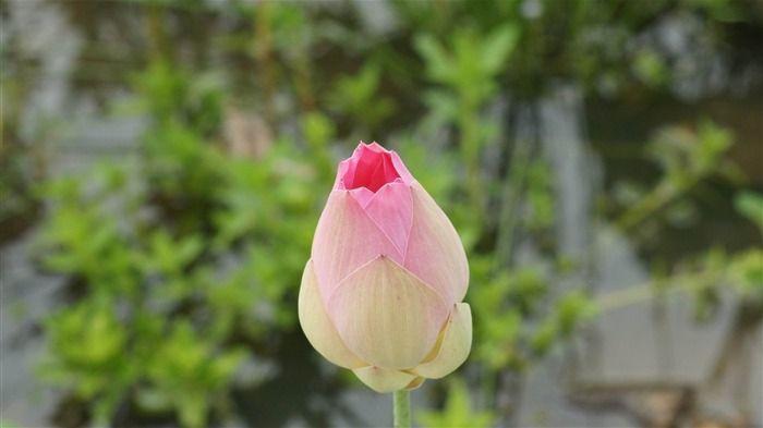 꽃봉우리 | rose bourgeon de lotus-2012 fleurs vedette Wallpaper Fond d'écran ...