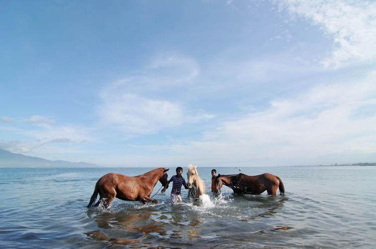 KPI (Kuda Pacu Indonesia, or Indonesian Race Horse), a cross-breed between local Sandalwood mares and imported Thoroughbred stallions. PALU, CENTRAL SULAWESI, 13/3/2011 - KUDA PACU. Sejumlah bocah memandikan kuda pacu di bibir pantai Talise, Palu, Sulawesi Tengah, Minggu (13/3). Kawasan pantai itu dijadikan sebagai kawasan perawatan dan pelatihan bagi kuda-kuda pacu pada setiap hari Minggu.  Photo by Basri Marzuki