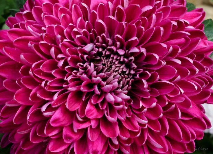 Chrysanthemums | Nature and Travel Photography