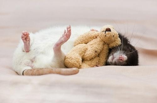 rattyyyyyy!: Ratti, Jessica Florence, Bugs, Teddy Bears, Pet Rats, Pets, Cute Rats, Photo, Animal