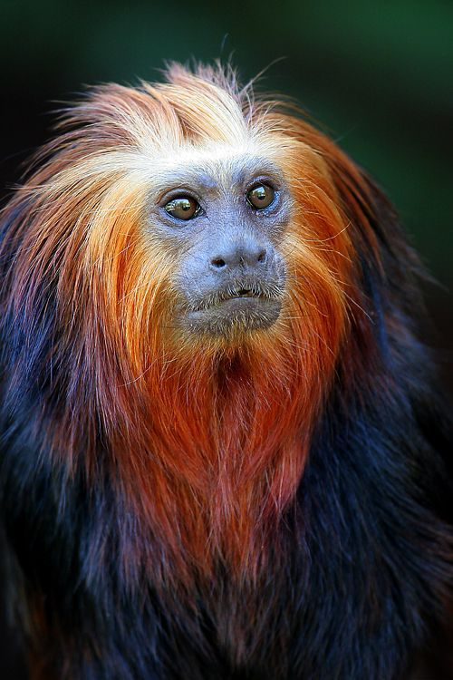 Golden lion tamarin. Native to the Atlantic coastal forests of Brazil, it is an endangered species.