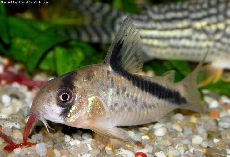 1000+ images about Aquarium Fish - Catfish and Loaches on Pinterest ...