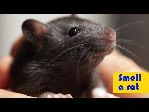 how to say rat in swedish