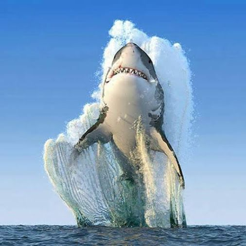 Awesome Sight; Shark Breaching From the Ocean.