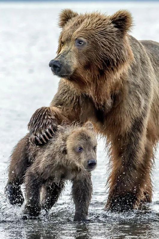 Alaskan brown bear mother (sow) & cub. Alaska's peninsular brown bears (Ursus arctos gyas) inhabit coastal areas and are related to the Kodiak brown bears.